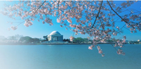 DC cherry blossoms.png