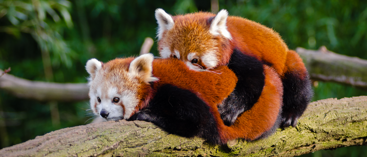A tricky one - red pandas