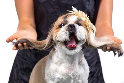 bigstock-show dog-203111410.jpg