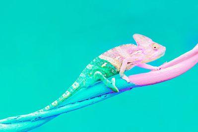 Chameleon1_rev.jpg