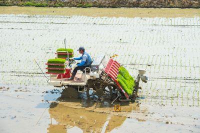 bigstock-Rice-planting-by-rice-transpla-119229980.jpg