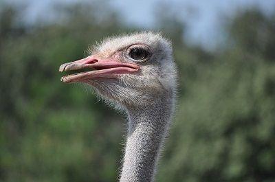 Ostrich_2.jpg